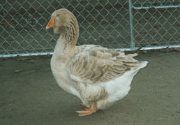 2001 hatch Buff Toulouse female