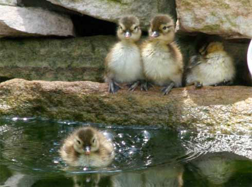 Mandarin ducklings at a pond